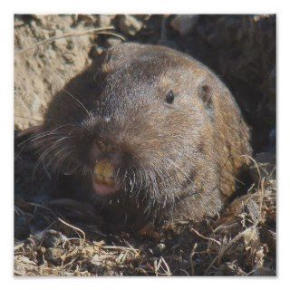gophers are rodents that primarily live underground this one took a