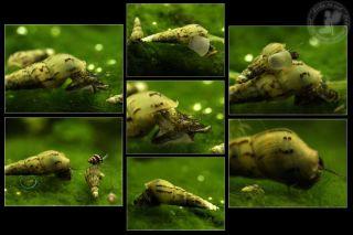 All Sizes Marimo Moss Balls Cladophora Live Aquarium Plant Fish Tank Shrimp Nano