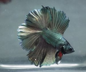 Live Tropical Fish Green Gold Copper Double Tail Halfmoon Betta B7