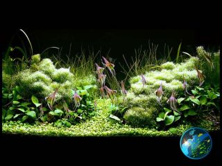 Anubias Nana x5 Live Aquarium Plant Java Fish Fern WS