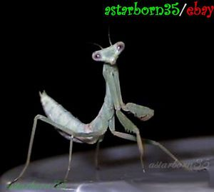 2 Live Praying Mantis Insects for School or Pest Control Bugs Spider Mites Gnats