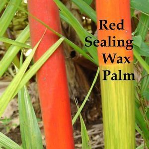 2 Red Sealing Wax Palms Cyrtostachys Renda Live Tree 24 36 inch Potted Plant