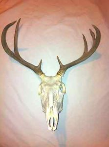 English Style Unmounted Deer Skull 7 Point Taken from Hampton AR