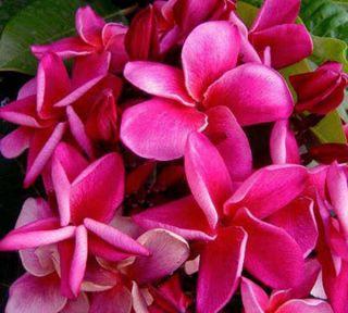 """Plumeria Plants Flowers """"Plu Hongdang"""" Fresh 50 Seeds"""