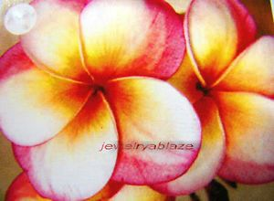 "Plumeria Frangipani Plants ""Tongtawechouk"" 50 Seeds"