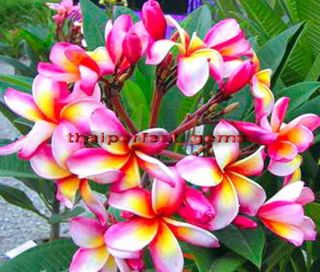 "Plumeria Plants Flowers ""Menanut"" Fresh 50 Seeds"