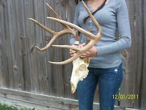 Whitetail Deer Skull Mount Antlers Rack Buck Sheds B C