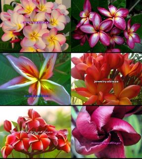 "Plumeria Frangipani Flowers Plants ""Mixed"" 60 Seeds"