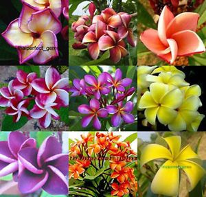 "Plumeria Plants Flowers ""Mixed 9 Type"" Fresh 40 Seeds"