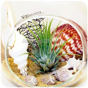 Tillandsia Air Plant Terrarium Hanging Glass ORB Globe Beach Kit Home Decor Gift