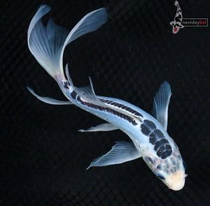 Real Blue Koi Fish Images Galleries