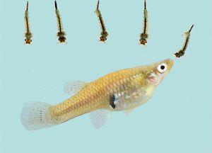 One Dozen Live Gambusia Mosquito Fish Pond Aquarium Feeder Fish Food Minnow