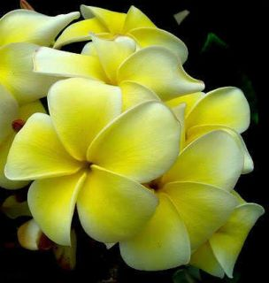 "Plumeria ""Yellow Jazz"" 50 Seeds Wonderful Blooms"