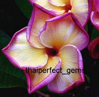 "Plumeria ""Golden Dragon"" 50 Seeds Wonderful Blooms"