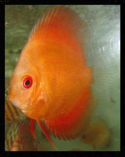 Tangerine Orange Discus Live Freshwater Aquarium Fish