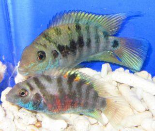 1 Pair Blue Convict Cichlid for Live Freshwater Aquarium Fish