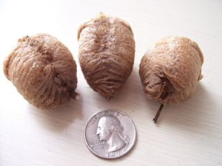 3 Super Duper Fresh Chinese Praying Mantis Egg Cases