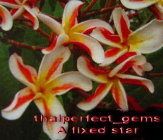 "Plumeria Frangipani Flowers ""A Fixed Star"" 50 Seeds"