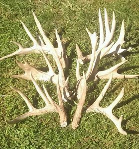 Lot of 3 Massive Whitetail Deer Antlers Horns Taxidermy Sheds Rack Mount Buck