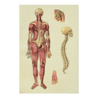 Female Muscle & Spine Anatomy Poster